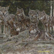 Europese wolven Zweden